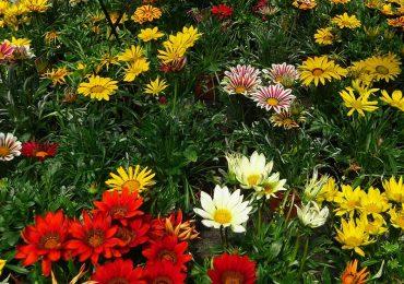 Mittagsblume bei Beet und Balkonpflanzen