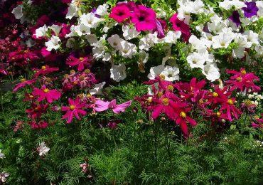 Cosmea bei Beet und Balkonpflanzen