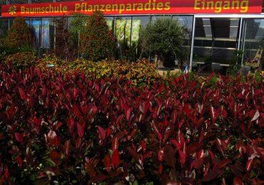 Glanzblattmispel Bäume und Sträucher