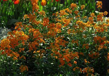 Goldlack bei Beet und Balkonpflanzen