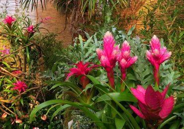 Guzmania Dschungel und Exoten