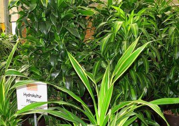Dracaena Hydrokultur