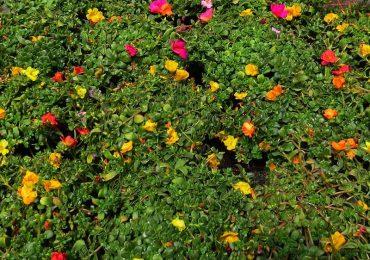 Portulak bei Beet und Balkonpflanzen