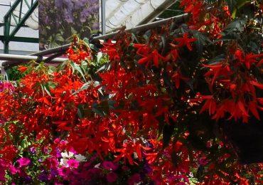 Saisonblüher Begonie bei Beet und Balkonpflanzen