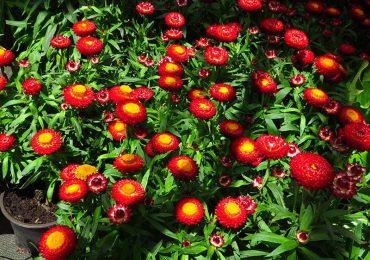 Strohblumen Beet und Balkonpflanzen