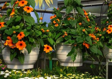 Schwarzäugige Susanne bei Beet und Balkonpflanzen