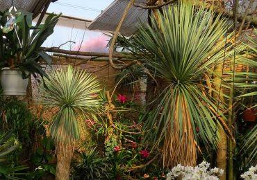 Yucca Rostrata Dschungel und Exoten