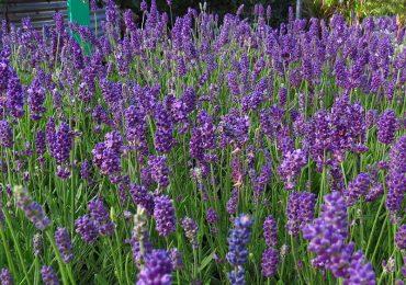 blühender Lavendel Staude lila
