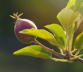 Obstbaum Apfelbaum im Garten