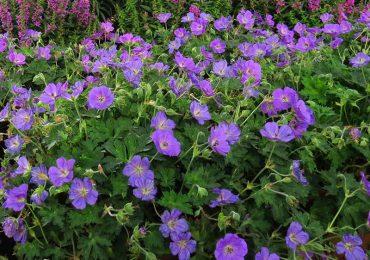 Storchenschnabel Staude blühend lila