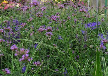 blühende Verbene lila Staude