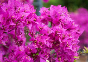 Bougainvillea, mediterrane Pflanzen, pink