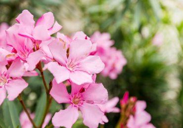 Oleander, mediterrane Pflanzen
